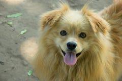 逗人喜爱的蓬松狗微笑并且显示舌头 免版税图库摄影