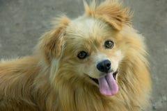 逗人喜爱的蓬松狗微笑并且显示舌头 免版税库存图片