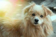 逗人喜爱的蓬松狗微笑 伟大的照片在一个晴天 库存照片