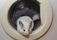 逗人喜爱的蓬松白色黄鼠在洗衣机坐在厨房里 宠物在家 白色毛皮和友好的动物 敬慕 库存图片