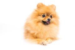 逗人喜爱的蓬松pomeranian波美丝毛狗 免版税库存照片
