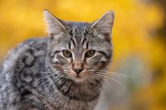 逗人喜爱的虎斑猫有黄色背景 免版税图库摄影