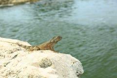 逗人喜爱的蜥蜴坐石头 背景美好的做的本质向量 图库摄影