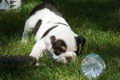 逗人喜爱的褐色在看水瓶的一个被操刀的玩耍区域起了皱纹牛头犬小狗 免版税库存图片