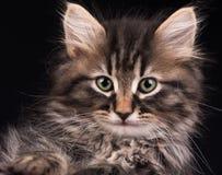 逗人喜爱的西伯利亚小猫 免版税库存照片