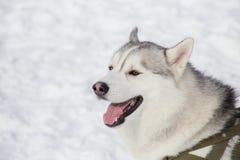 逗人喜爱的西伯利亚爱斯基摩人在一明亮的好日子打呵欠在公园 宠物 免版税库存图片