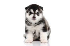 逗人喜爱的西伯利亚爱斯基摩人小狗坐白色背景 库存照片