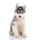 逗人喜爱的西伯利亚爱斯基摩人小狗开会 库存照片