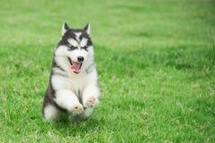 逗人喜爱的西伯利亚爱斯基摩人小狗赛跑 库存图片
