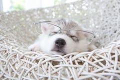 逗人喜爱的西伯利亚爱斯基摩人小狗 库存图片