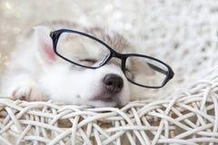逗人喜爱的西伯利亚爱斯基摩人小狗 免版税图库摄影