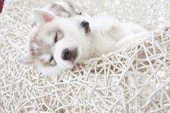 逗人喜爱的西伯利亚爱斯基摩人小狗 库存照片