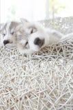 逗人喜爱的西伯利亚爱斯基摩人小狗 免版税库存照片