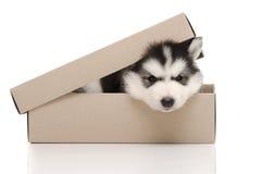 逗人喜爱的西伯利亚爱斯基摩人小狗insiside箱子 库存图片