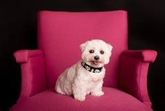 逗人喜爱的西部高地白色狗坐桃红色扶手椅子 图库摄影