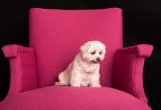 逗人喜爱的西部高地白色狗坐桃红色扶手椅子 免版税库存图片