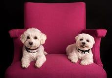 逗人喜爱的西部高地白色狗坐桃红色扶手椅子 库存图片
