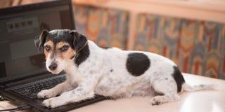 逗人喜爱的计算机杰克罗素狗狗 在桌上的淘气狗 图库摄影