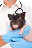 逗人喜爱的越南猪 免版税库存照片