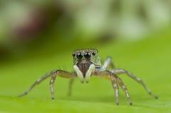 逗人喜爱的跳的蜘蛛 库存照片
