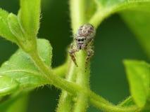 逗人喜爱的跳的蜘蛛 免版税库存图片