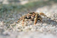 逗人喜爱的跳的蜘蛛 免版税图库摄影