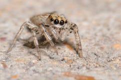 逗人喜爱的跳跃的蜘蛛 免版税库存图片