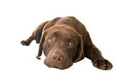 逗人喜爱的躺下的小狗 免版税库存图片