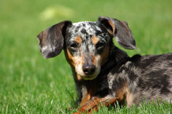 逗人喜爱的达克斯猎犬一点 库存图片