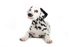 逗人喜爱的达尔马提亚狗 库存照片