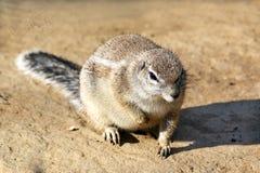 逗人喜爱的野生啮齿目动物特写镜头坐五谷 库存图片