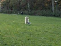 逗人喜爱的金毛猎犬 免版税库存图片