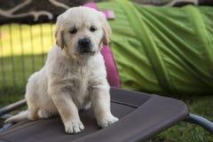 逗人喜爱的金黄小狗猎犬 免版税库存图片