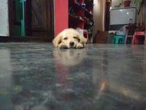 逗人喜爱的金黄小狗猎犬 库存照片