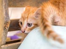 逗人喜爱的金黄棕色小猫在后院 库存图片