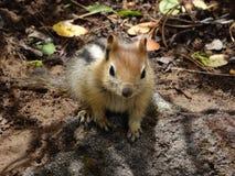 逗人喜爱的金黄被覆盖的地松鼠 免版税图库摄影
