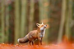逗人喜爱的镍耐热铜,狐狸狐狸,秋天森林美丽的动物在自然栖所 橙色狐狸,细节画象,捷克语 野生生物sce 免版税库存图片