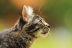 逗人喜爱的镶边好奇猫 免版税库存图片