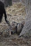 逗人喜爱的镶边幼小野生棕色公猪特写镜头在一个森林里在德国 免版税库存照片