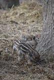 逗人喜爱的镶边幼小野生棕色公猪特写镜头在一个森林里在德国 免版税库存图片