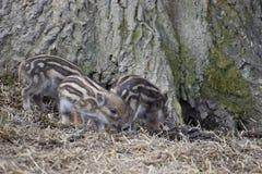 逗人喜爱的镶边幼小野生棕色公猪特写镜头在一个森林里在德国 库存照片