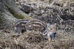 逗人喜爱的镶边幼小野生棕色公猪特写镜头在一个森林里在德国 库存图片