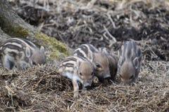 逗人喜爱的镶边幼小野生棕色公猪特写镜头在一个森林里在德国 图库摄影