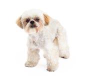 逗人喜爱的长卷毛狗和马尔他混合品种狗身分 库存图片