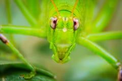 逗人喜爱的长有角的蚂蚱或者蚱蜢或者叶蝉p 图库摄影