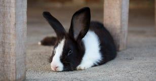 逗人喜爱的长毛的兔宝宝 免版税图库摄影