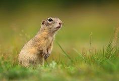 逗人喜爱的长毛的地松鼠 库存图片