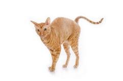 逗人喜爱的长毛绒红色小猫康沃尔雷克斯 免版税库存照片