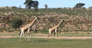 逗人喜爱的长颈鹿,南非野生生物 股票视频