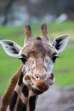 逗人喜爱的长颈鹿 免版税库存照片